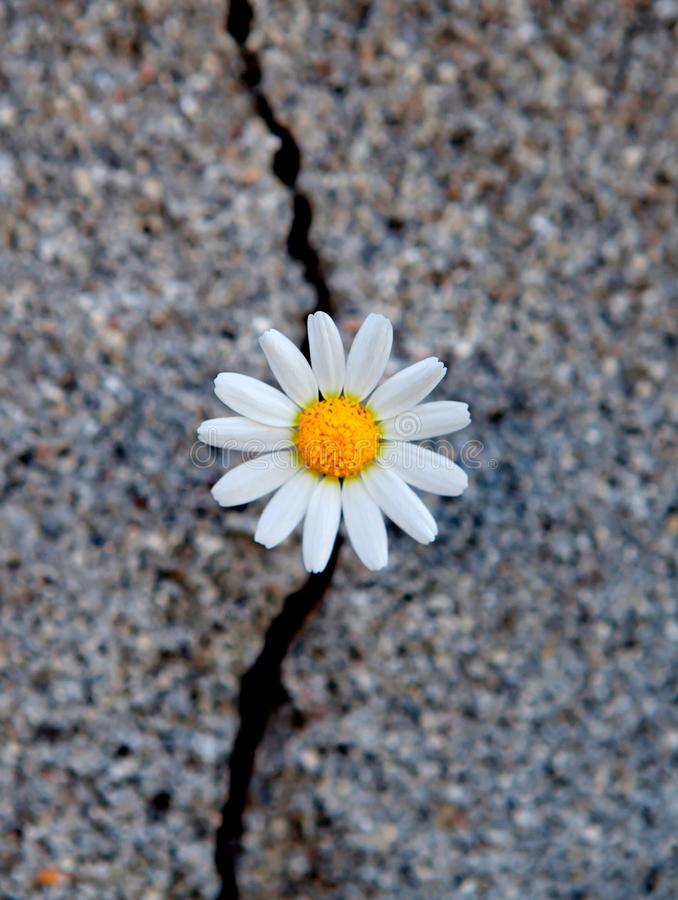 Free Daisy Born From A Crack In The Asphalt Royalty Free Stock Images - 142582129