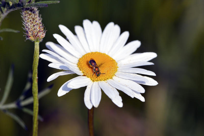 Daisy With Bug. Daisy with a small bee feeding in it royalty free stock photo