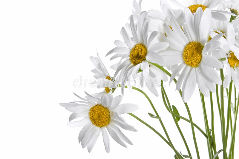 daisy bukiet. zdjęcie royalty free