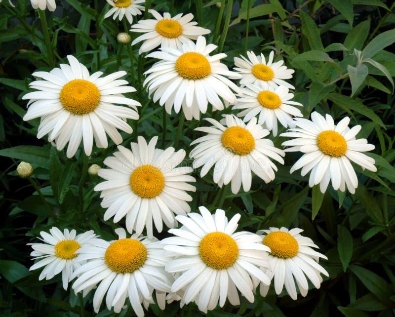 Daisy Bunch royalty free stock image