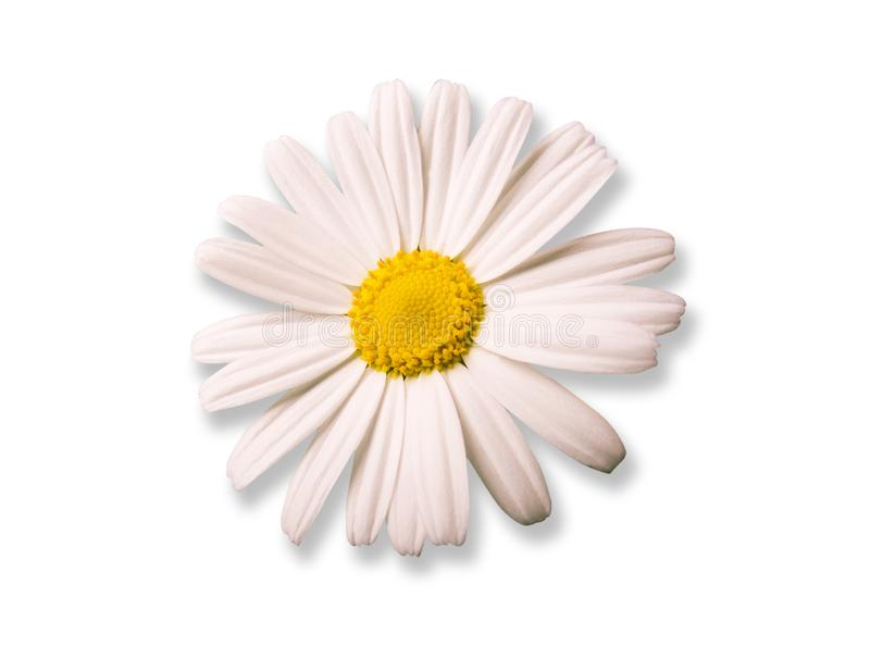 Daisy card royalty free stock photo