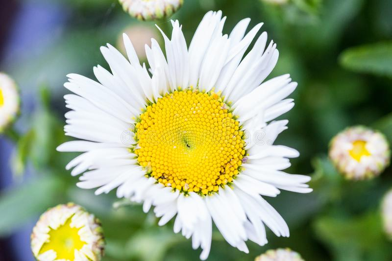 Daisy center close up. Close up on a group of flowers royalty free stock photos