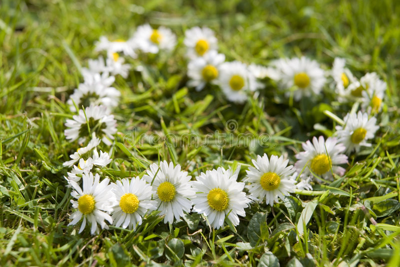Daisy chain royalty free stock photos