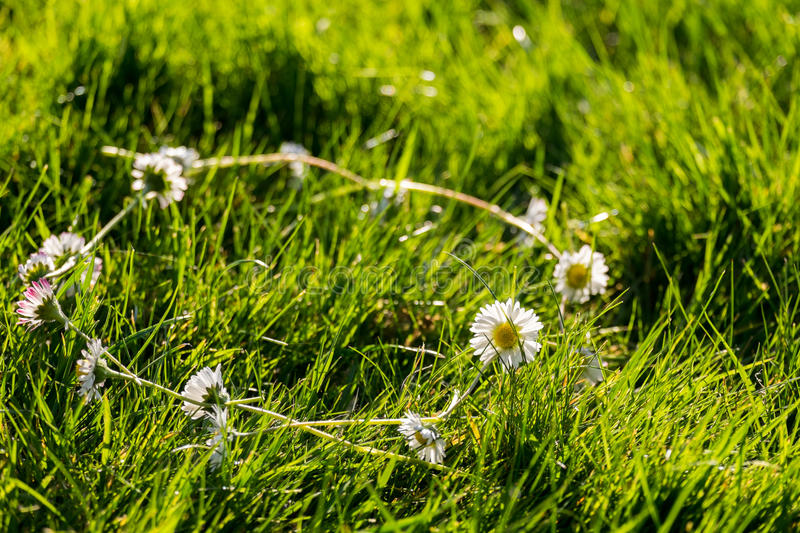 Daisy Chain images stock