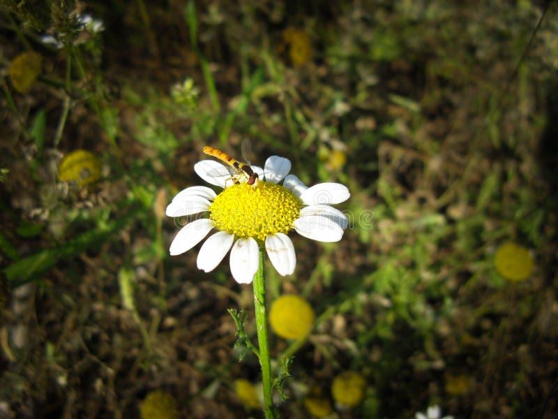 Daisy chamomile flower bee on it . stock image
