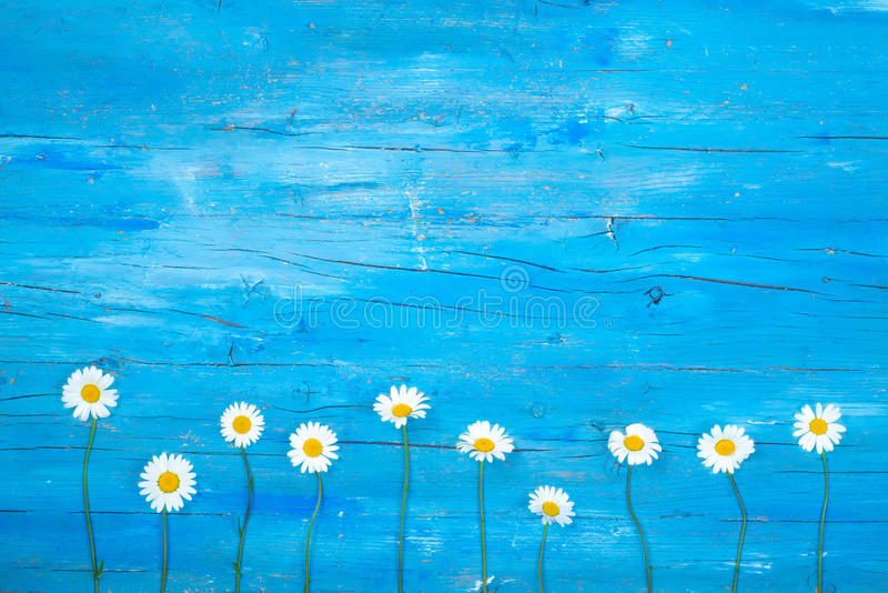 Daisy chamomile flowers backgroud royalty free stock images