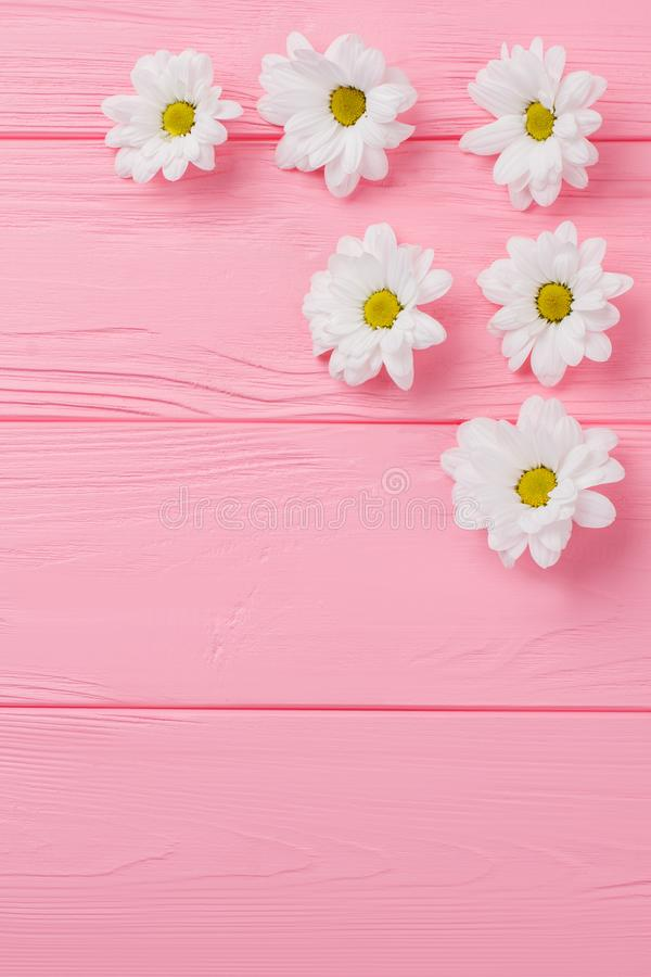 Daisy chamomile flowers disposition. Top view, flat lay. Pink wooden background royalty free stock photos
