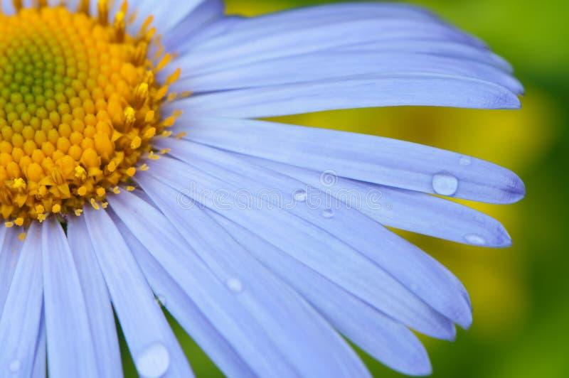 Download Daisy close-up. stock photo. Image of botanical, chamomile - 25535982