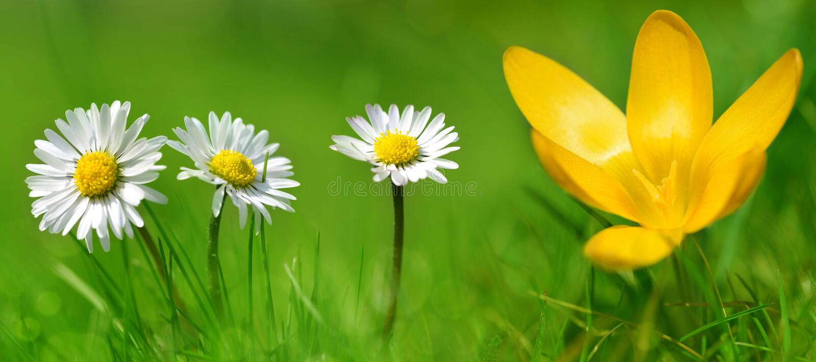 Daisy with crocus flower in grass. stock image