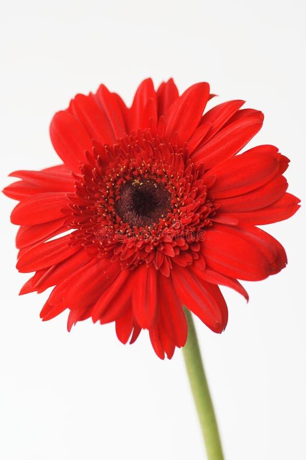 daisy czerwony fotografia royalty free