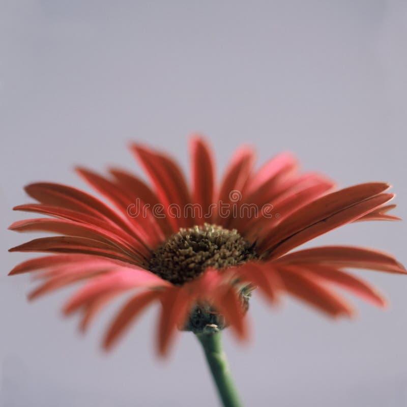 Download Daisy czerwony kwiat obraz stock. Obraz złożonej z 1, target172 - 39753