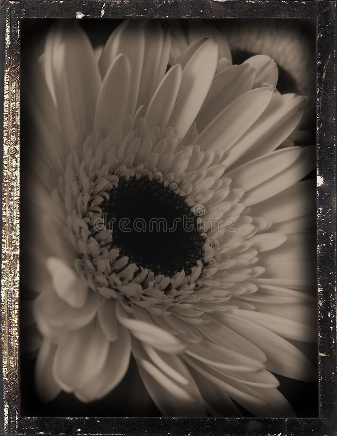 daisy dagguereotype repro zdjęcie royalty free