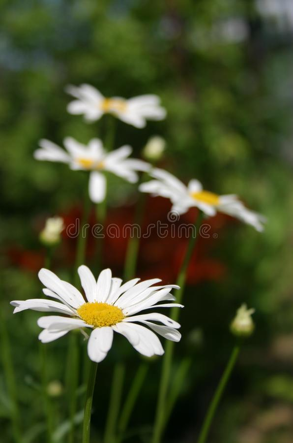 Daisy Daisy White stock images