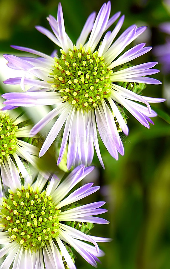 Download Daisy Delicacy stock image. Image of colors, buds, green - 166647