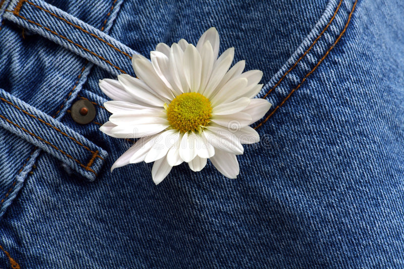 Daisy in denim pocket. Daisy hanging out of a pair of jeans royalty free stock photos