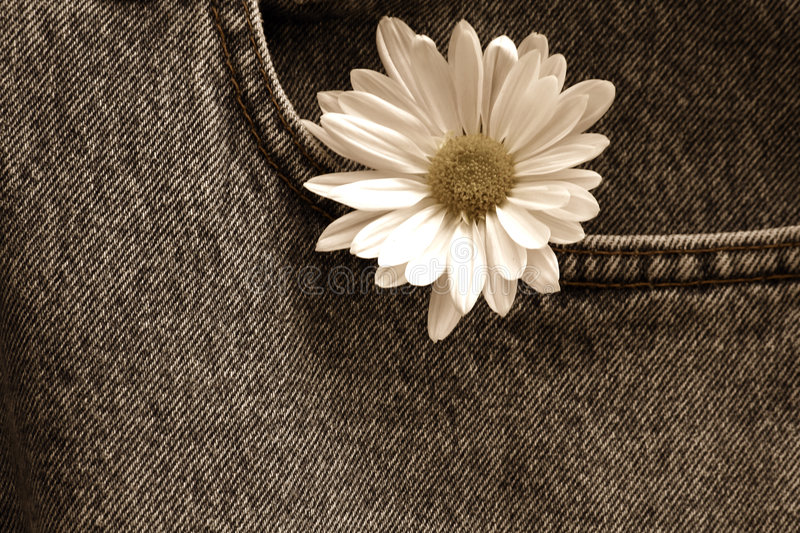 Download Daisy In Denim Pocket/ Sepia Stock Photo - Image: 909808