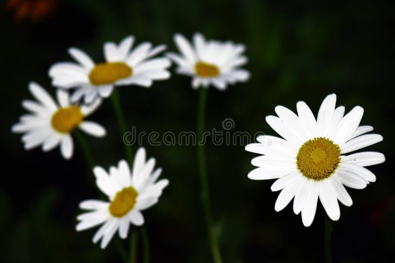 Daisy Do fotos de stock