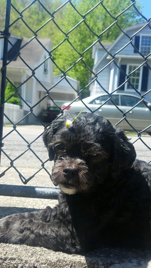 Daisy Dog lizenzfreie stockfotografie