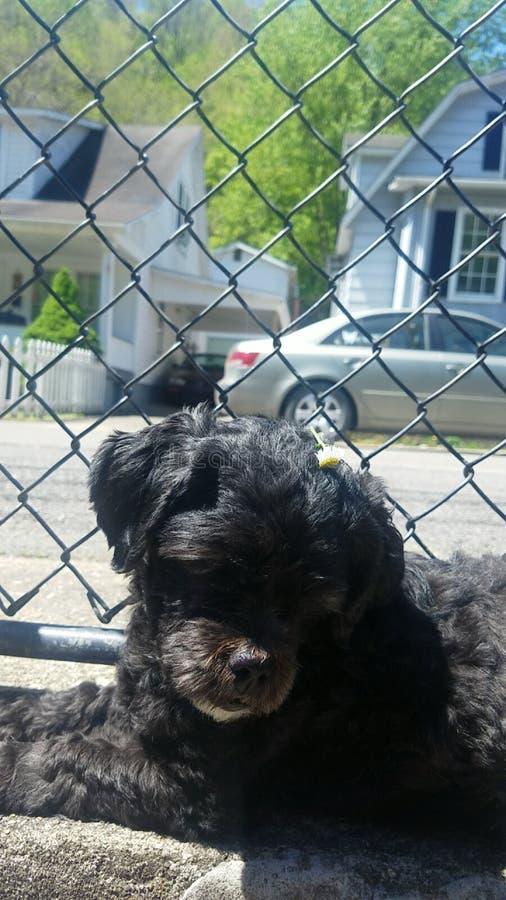 Daisy Dog royalty free stock photography