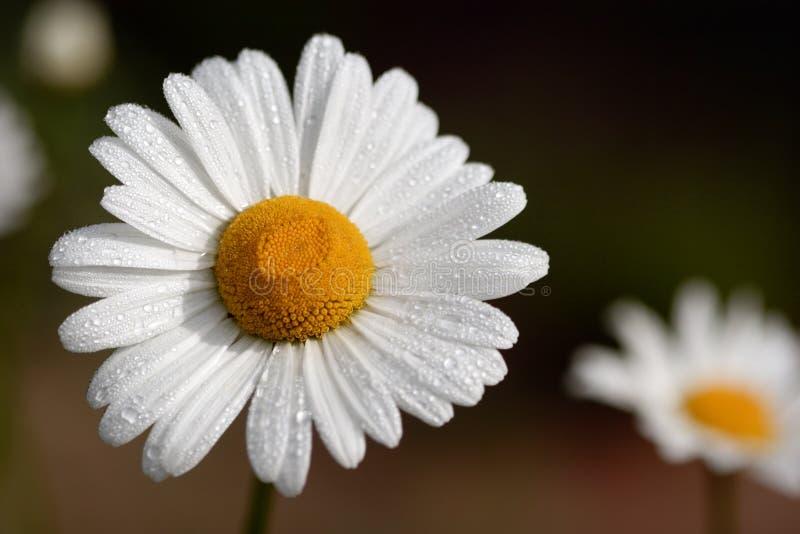 Daisy Dream. Shallow DOF Close-up of a single dew covered Daisy stock photography
