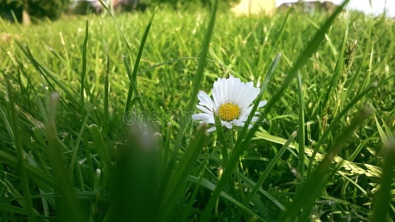 Daisy in een midden van een groen gebied stock foto