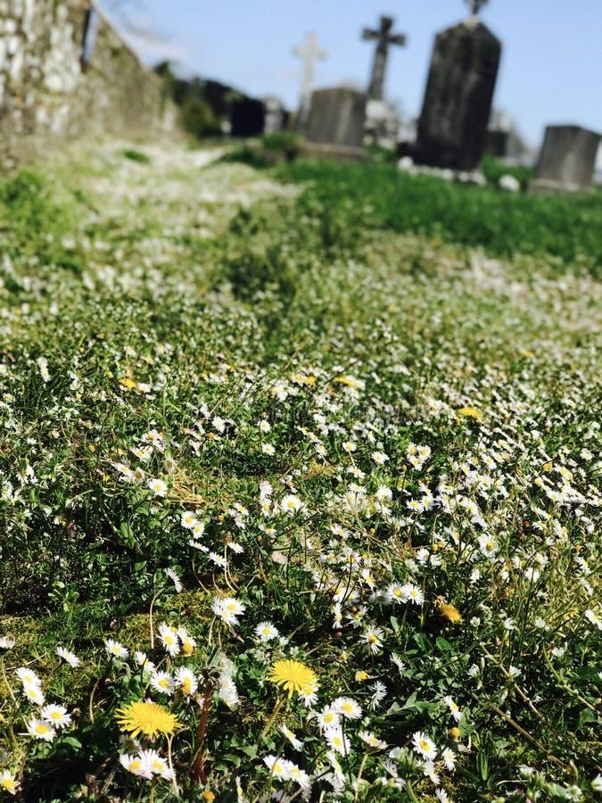 Daisy en paardebloemen in oud kerkhof stock foto's