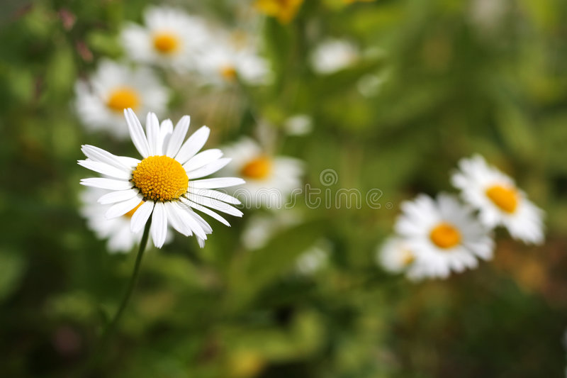 Download Daisy Field stock photo. Image of optimism, grow, fresh - 170670