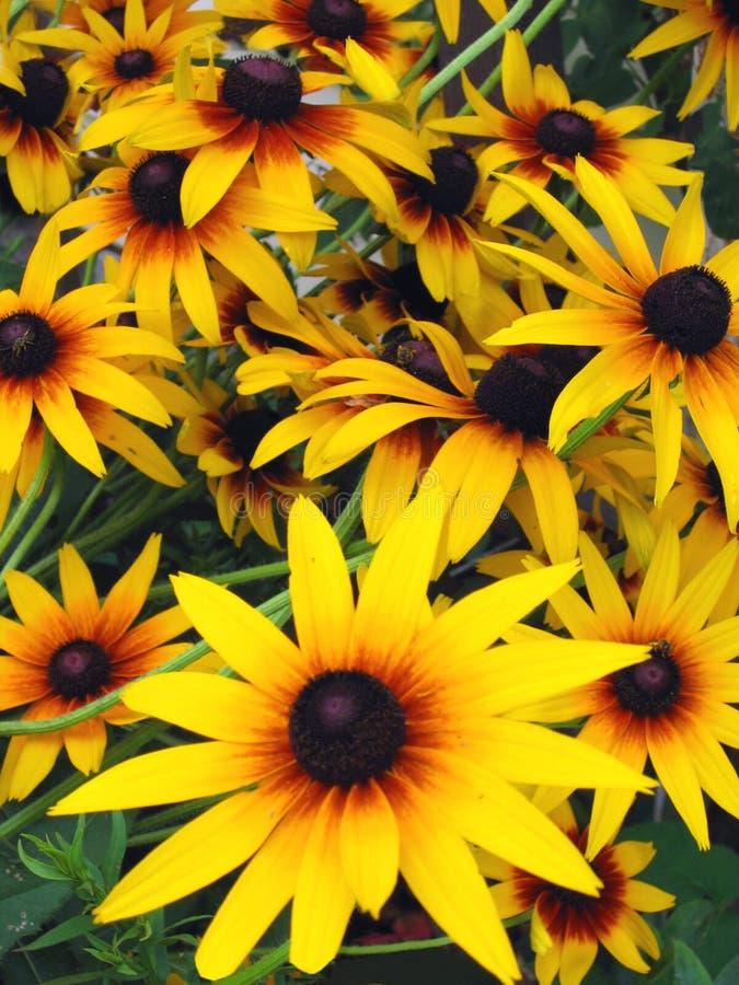 Daisy Field stock afbeelding