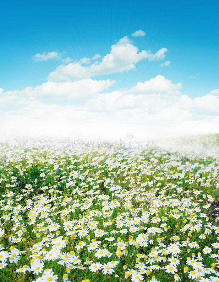 Download Daisy field stock image. Image of chamomile, natural - 18950123