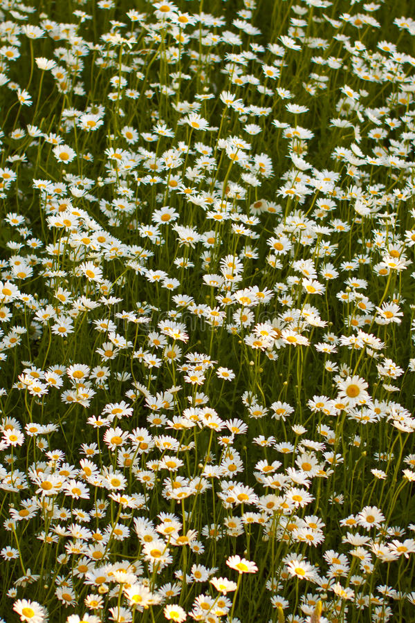 Download Daisy Field stock image. Image of daisies, daisy, colors - 25180021
