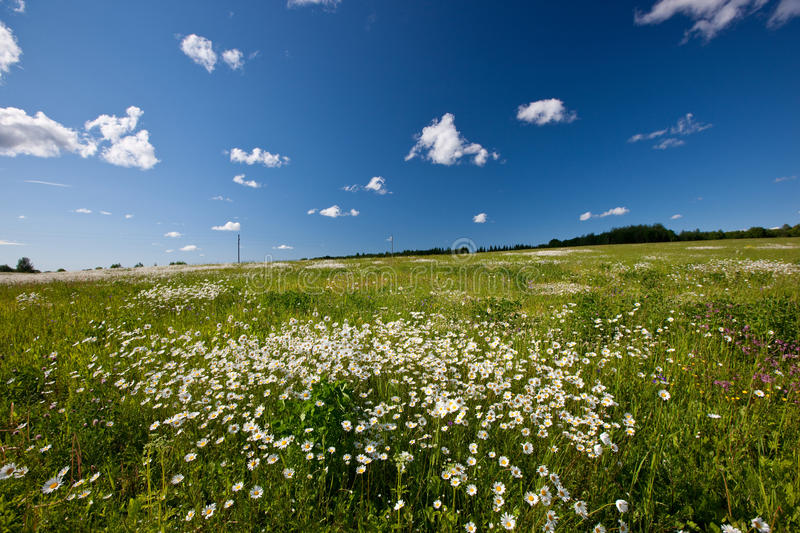 Download Daisy field stock photo. Image of states, landscape, flower - 28533196