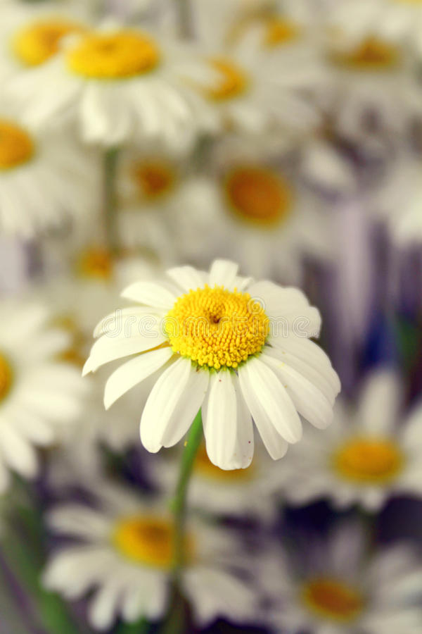 Daisy Field stock afbeeldingen