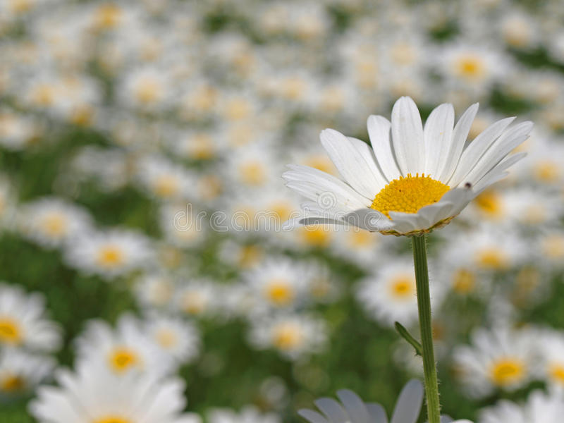 Download Daisy field stock photo. Image of close, bloom, field - 9580940