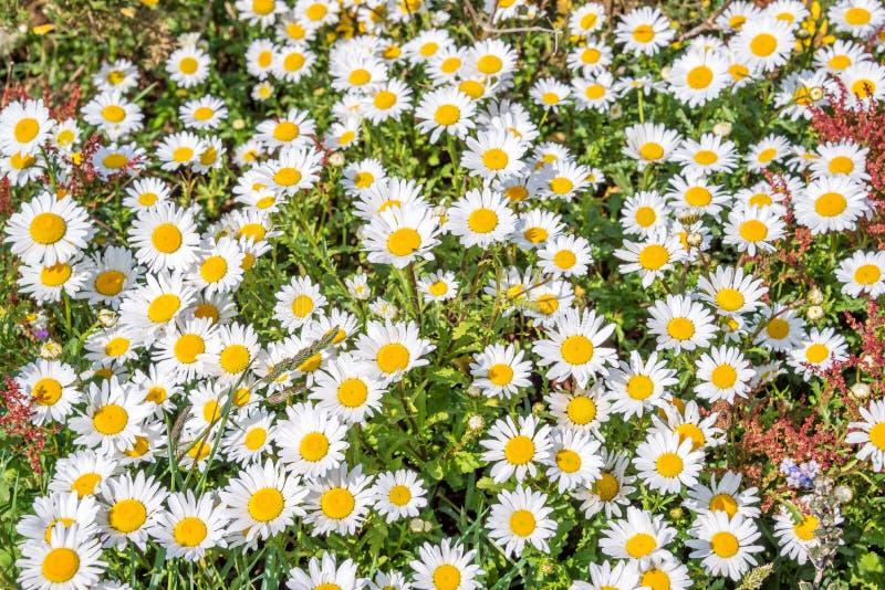 Daisy field background stock image