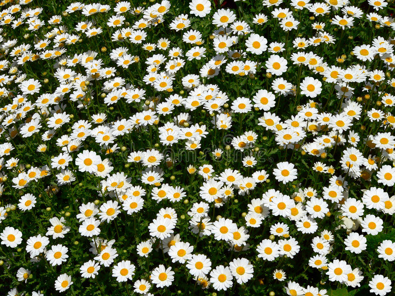 Download Daisy Field (Bellis Perennis) Stock Photos - Image: 3644643