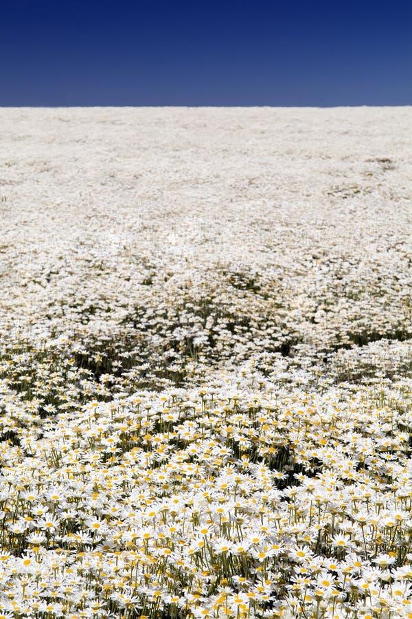 Daisy Field & Blue Sky. Endless field of white daisy's stretch over Table Cape in Tasmania, Australia under a rich blue sky stock photo