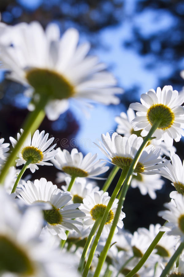 Download Daisy Field Blur stock photo. Image of colorful, hundreds - 25180006