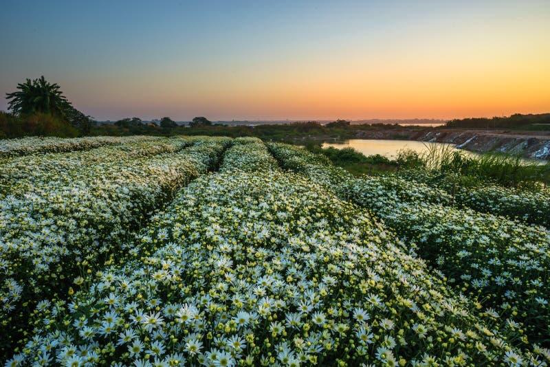 Daisy field in early morning stock photos
