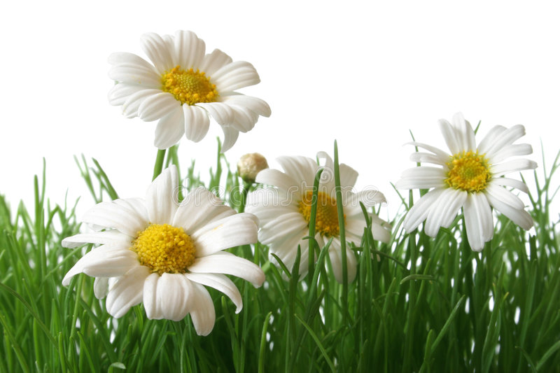 Download Daisy Field Macro Stock Photography - Image: 1421512