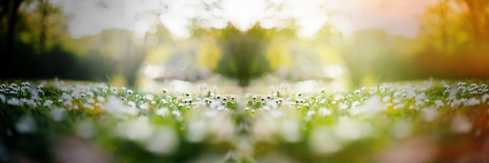Daisy field with multiple flowers and sun flare stock image