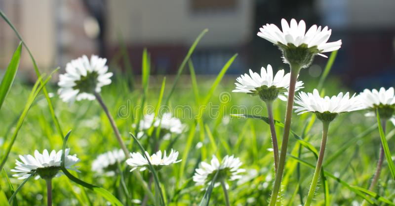 Daisy is first day of spring look like a a moon daisy and yellow eyes stock images
