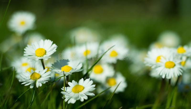 Daisy is first day of spring look like a a moon daisy and yellow eyes. stock photography