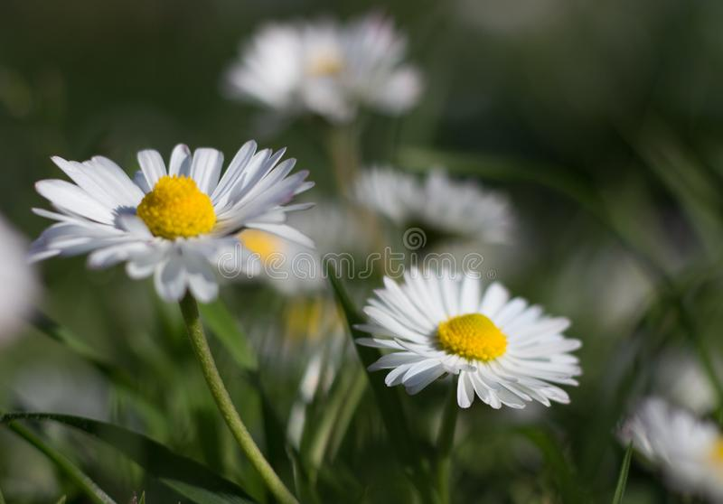 Daisy is first day of spring look like a a moon daisy and yellow eyes. royalty free stock photos