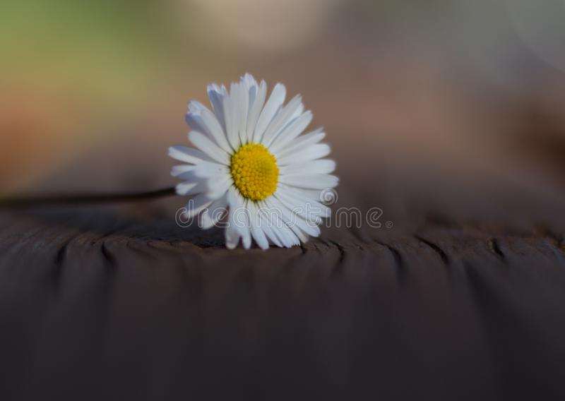 Daisy is first day of spring look like a a moon daisy and yellow eyes. royalty free stock images