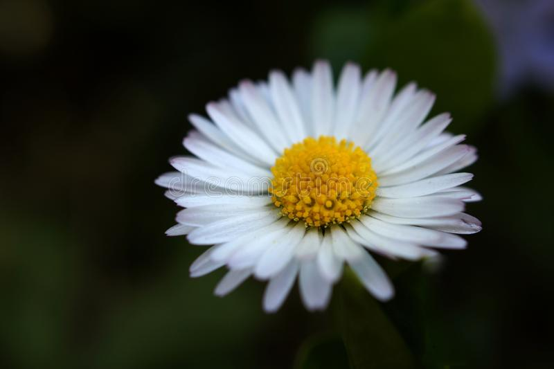 Daisy flover bloom in detail stock photography