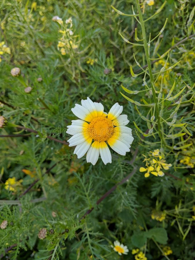 Daisy Flower photographie stock libre de droits