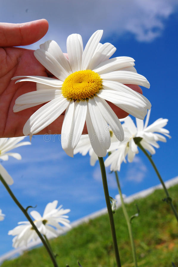 Daisy flower. Hand hold daisy flower with blue sky as background royalty free stock images