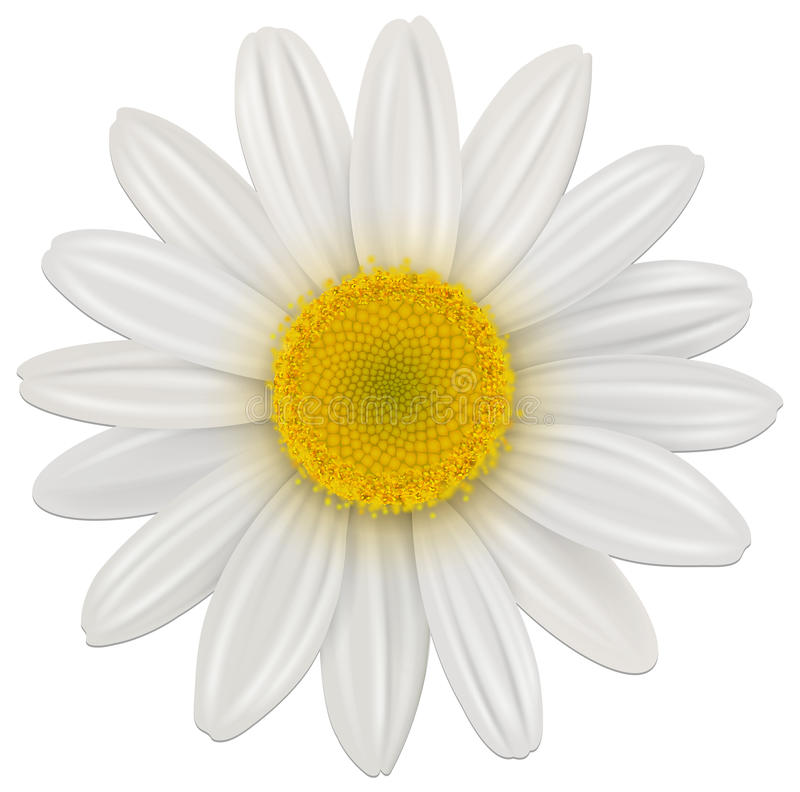 Download Daisy flower stock vector. Illustration of white, plant - 22842622