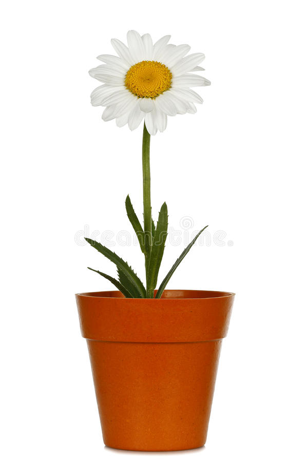 Download Daisy Flower foto de archivo. Imagen de blanco, detalle - 41906000