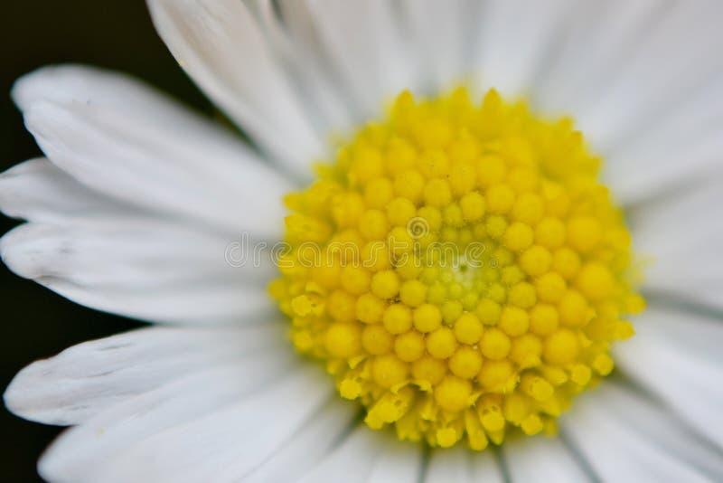 Daisy Flower foto de stock royalty free